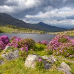 rhodos en fleurs au bord d'un lac d'Irlande, voyage photo dans le Kerry