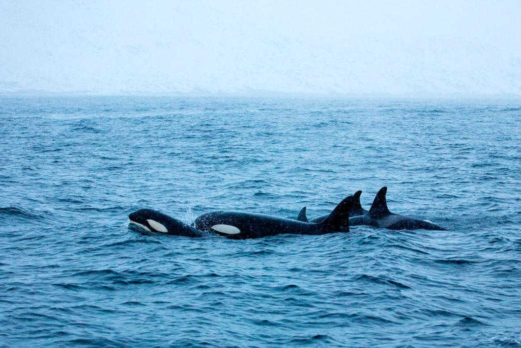 une famille d'orques en chasse, à Senja, près de Tromsø en Norvège. A family of killer whales hunting in Senja, near Tromsø in Norway