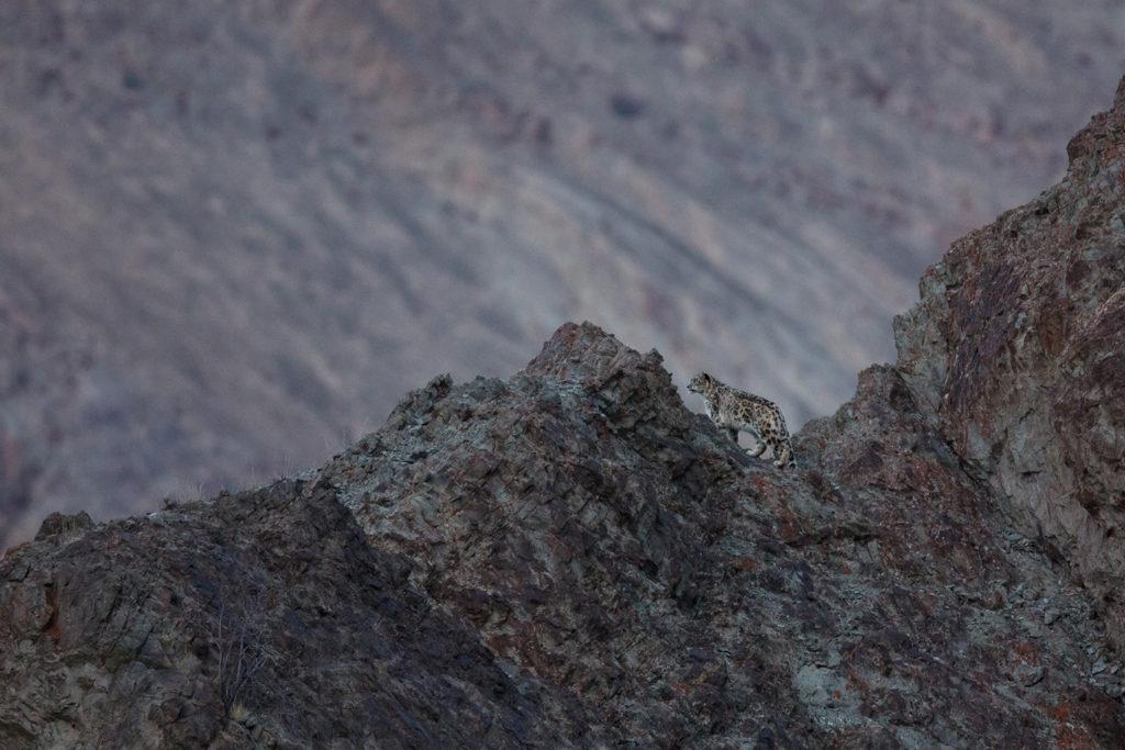 panthère des neiges, Panthera uncia, sur une crête pendant un voyage photo au Ladakh