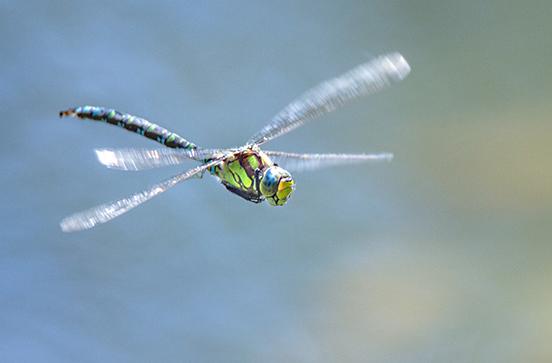 libellule en plein vol en Clarée
