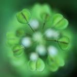 Capsella bursa-pastoris, une plante photogénique