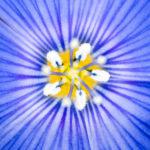 coeur de lin bleu pris à l'ultra macro avec trépied photo