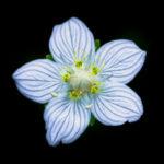 Parnassie des marais, fleur très photogénique