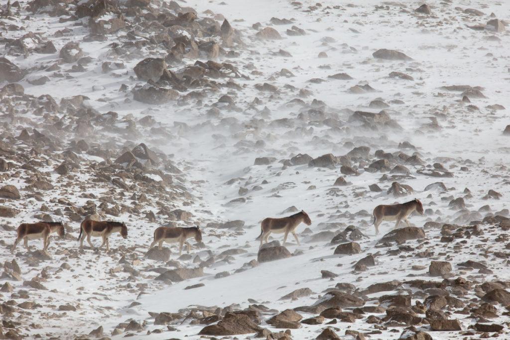 Anes sauvages du Tibet, kiangs, dans la neige, pendant un voyage photo au Ladakh