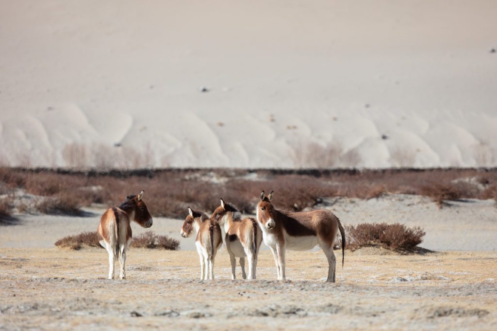 femelles et jeunes kiangs dans le Chang Tang, en voyage photo au Ladakh