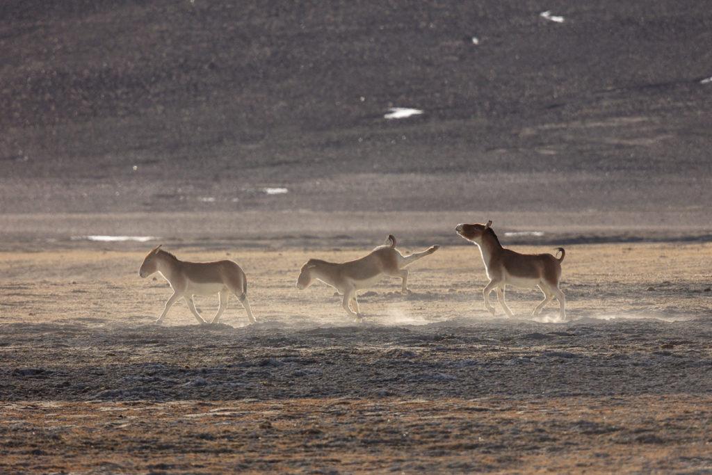 femelle kiang en ruade pour éloigner un mâle, photographiée au Ladakh