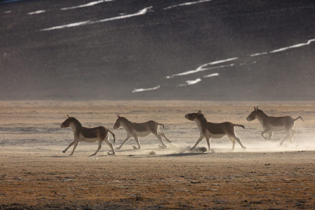Un oeil sur la Nature | LADAKH – La panthère des neiges