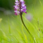 orchidée de Chartreuse, stage photo macro