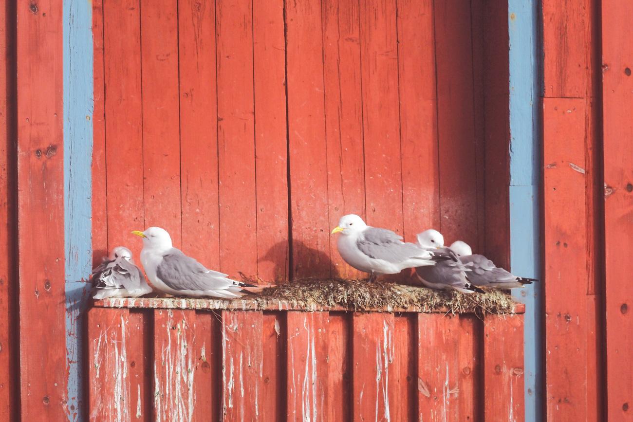 Mouettes en Norvège / îles Lofoten