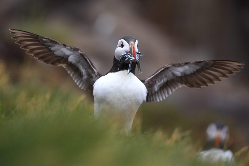 Un oeil sur la Nature | ÉCOSSE – Les oiseaux marins de la Côte Est