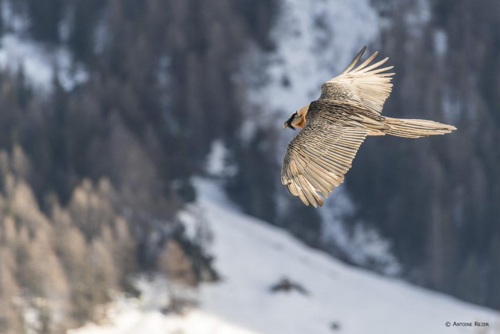 Un oeil sur la Nature   FRANCE – Focus sur le gypaète barbu en Vanoise