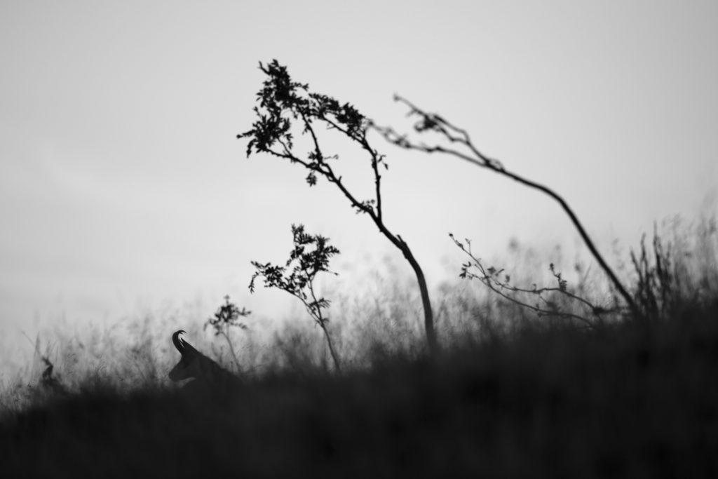 Un oeil sur la Nature | FRANCE – Dans l'univers du chamois des Vosges