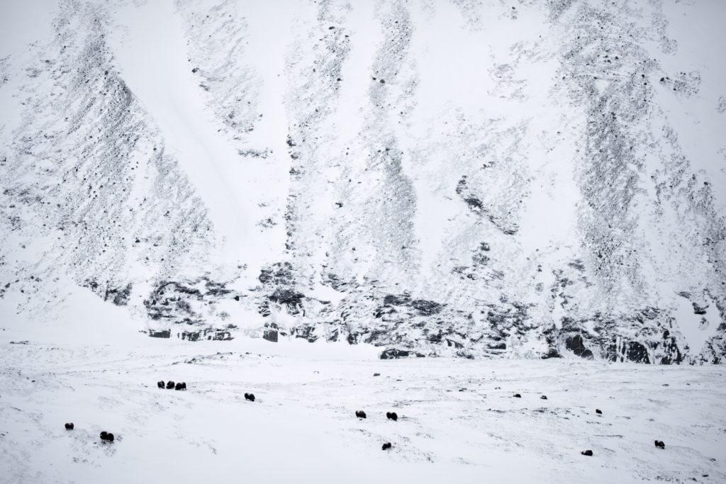Un oeil sur la Nature | NORVEGE – Au pays des bœufs musqués
