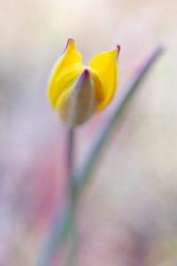 tulipe australe en stage macro