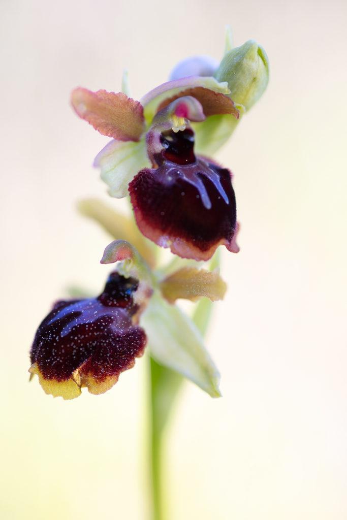 Ophrys passionis en stage photo sur les orchidées