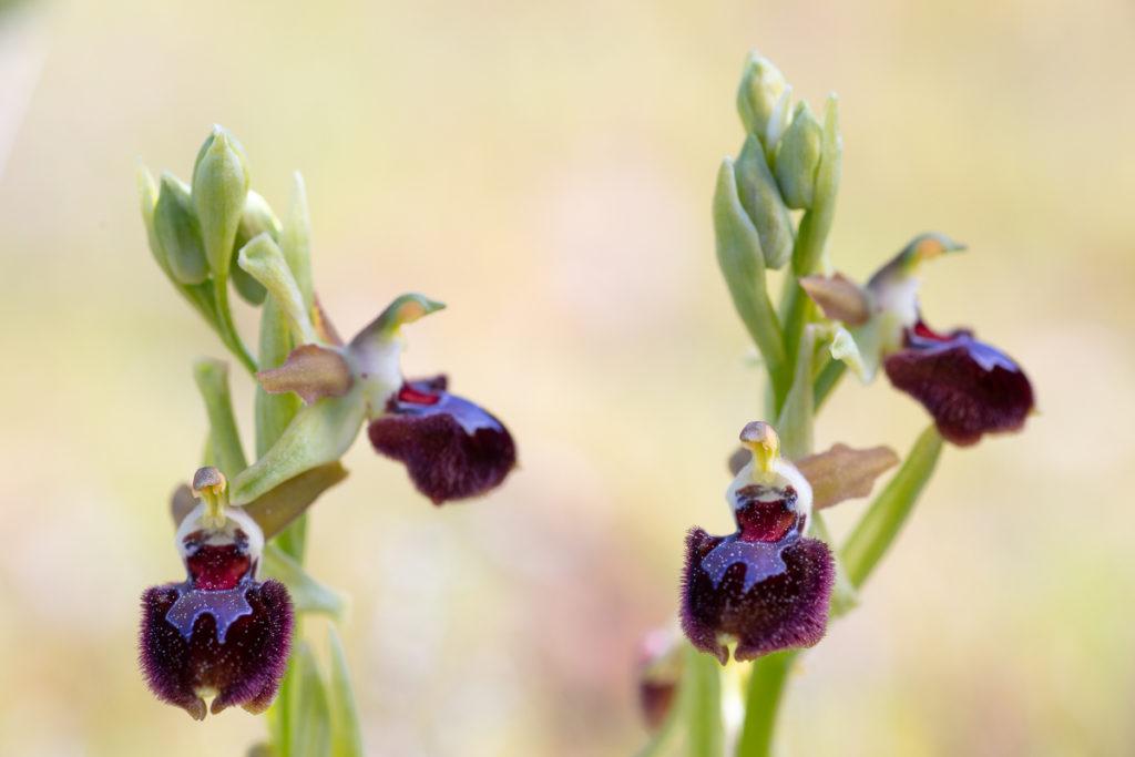 Ophrys provincialis pendant un stage photo dans le sud de la France