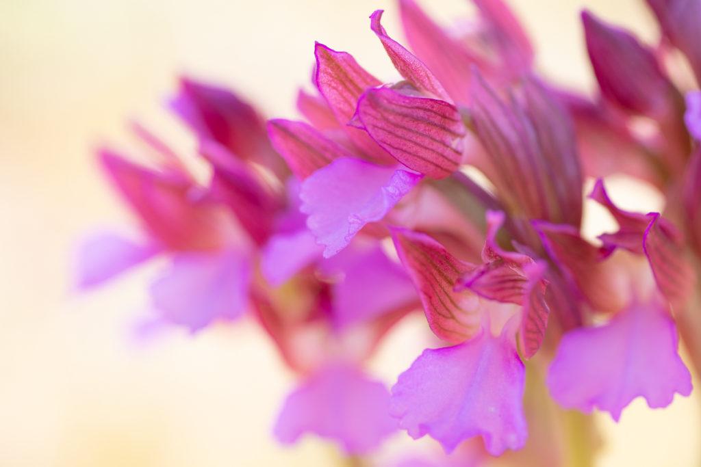 Anacamptis papilionacea photographié en stage photo orchidée dans le Drôme