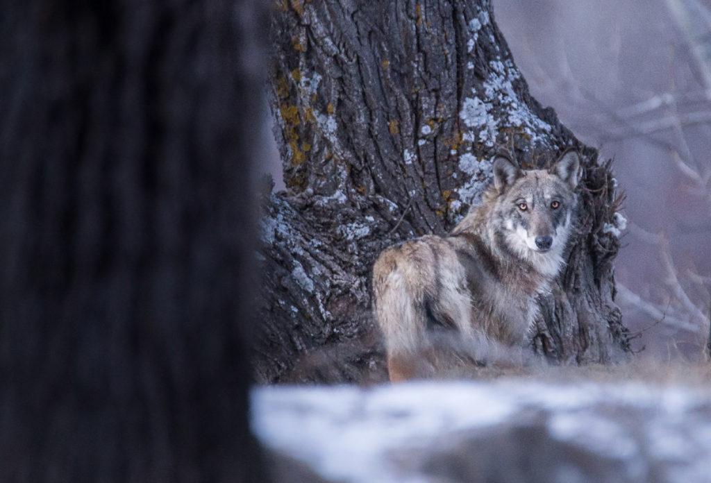 loup (Canis lupus) photographié dans les Alpes par Léo Gayola